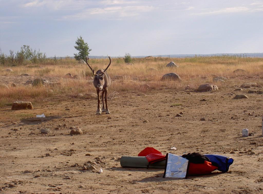 Bild av ren vid riksgränsen